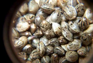 семена марихуаны